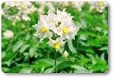 トヨシロ、きたひめの花