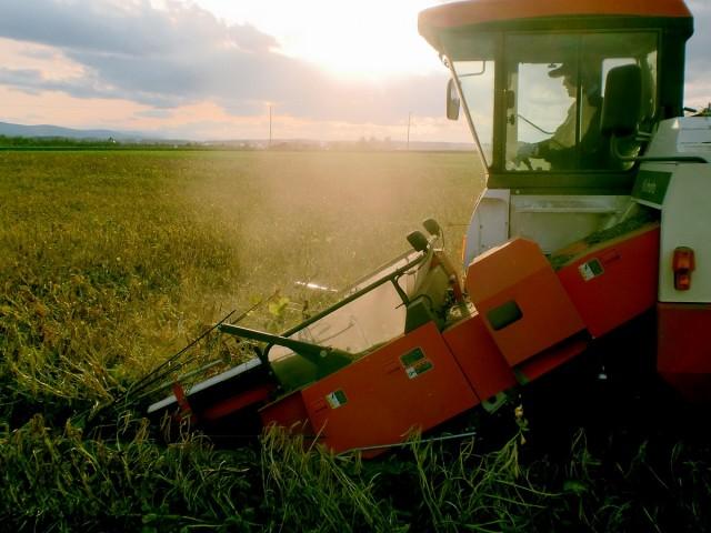 小豆収穫の様子