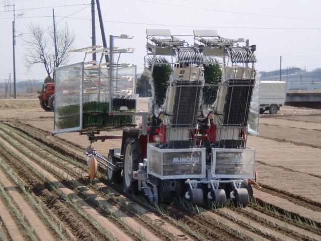 玉ねぎの定植作業の様子