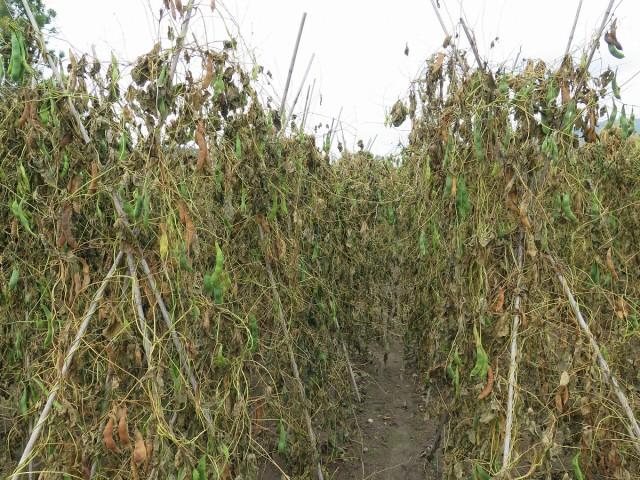 豆の乾燥が進む様子