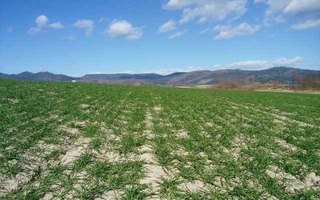 秋まき小麦の今の様子