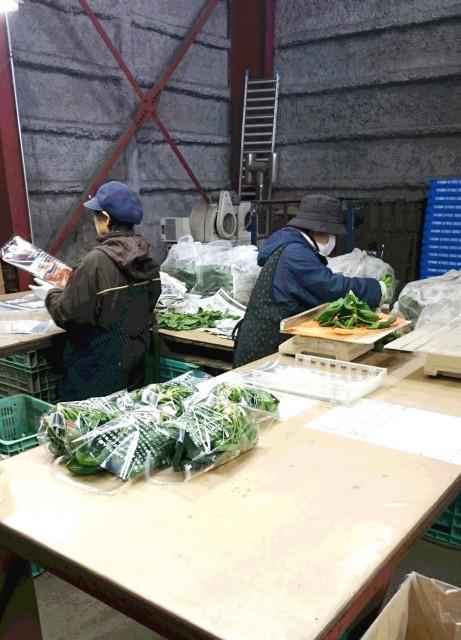 寒締めちぢみほうれん草の選果作業