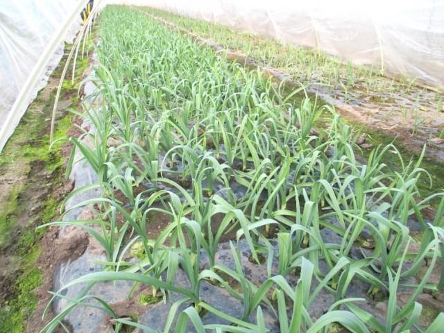葉にんにく畑