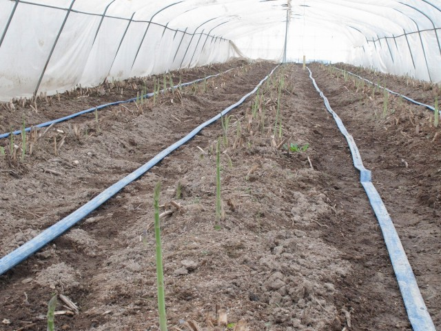アスパラガス畑の様子1