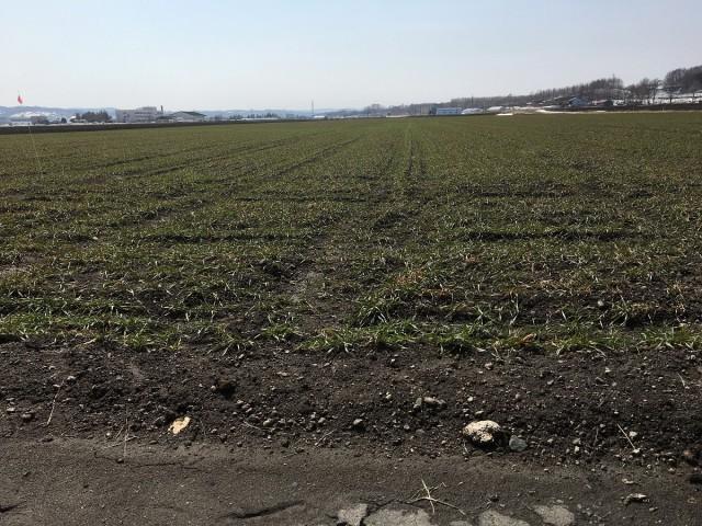 秋まき小麦の畑