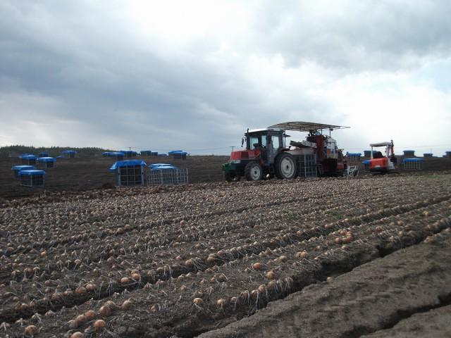 玉ねぎ収穫風景