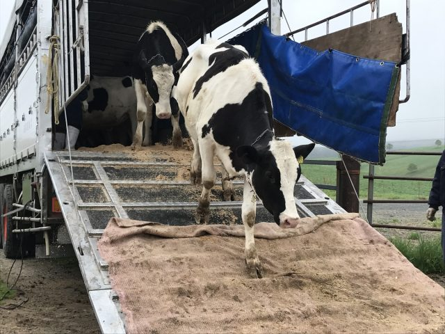 移動中の牛