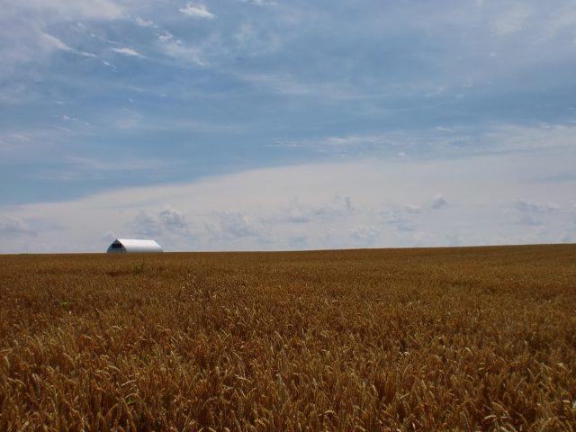 小麦畑の様子