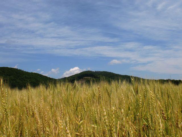 大麦の様子