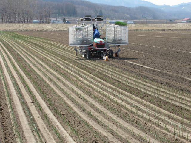 玉ねぎの植え付け作業