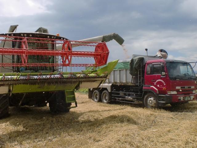 春まき小麦収穫風景2