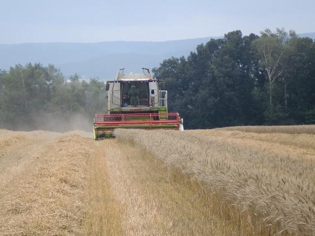 春まき小麦収穫風景