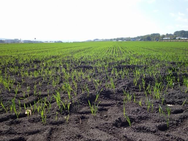 秋まき小麦「きたほなみ」の様子