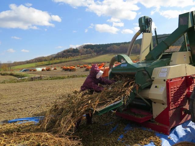 白花豆の脱穀作業