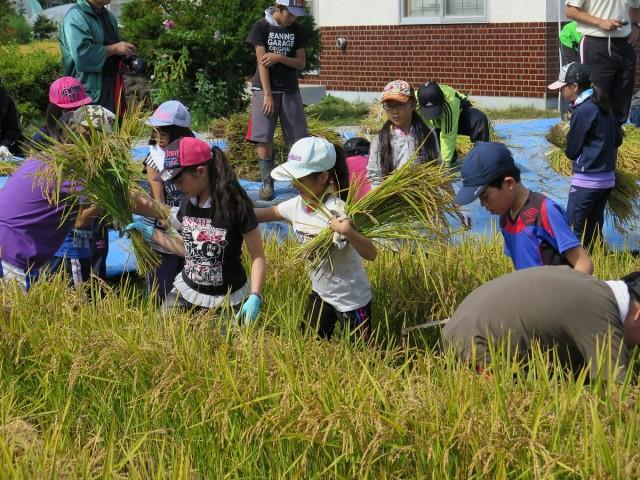 稲刈りの様子1