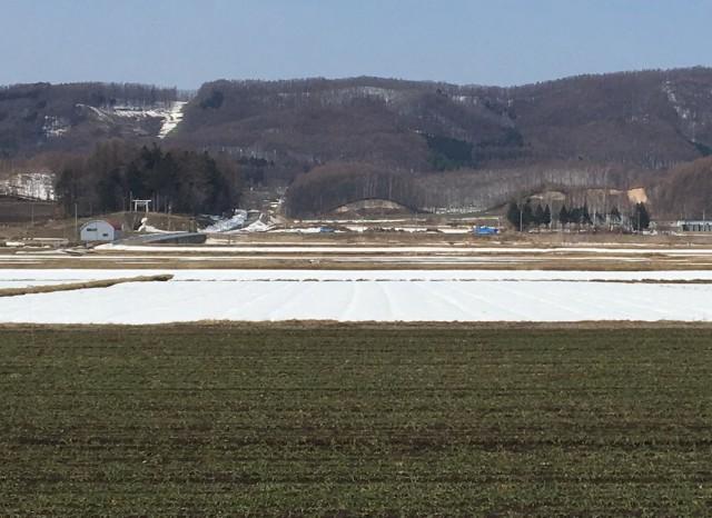 秋まき小麦と残雪