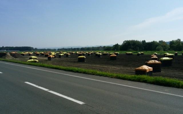 玉ねぎの収穫風景