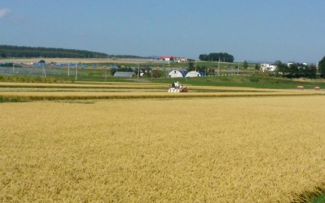 もち米の収穫風景