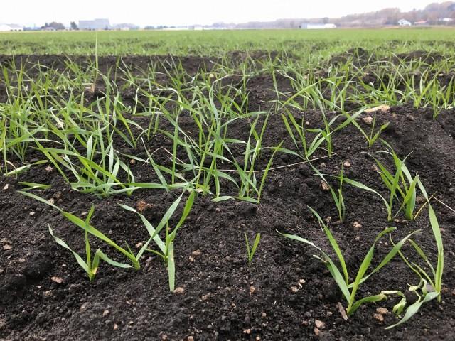 秋まき小麦の様子