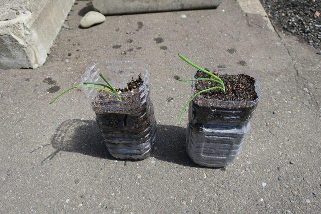 ペットボトルで玉ねぎ栽培