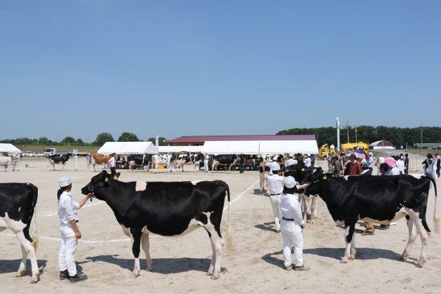 乳牛共進会の様子
