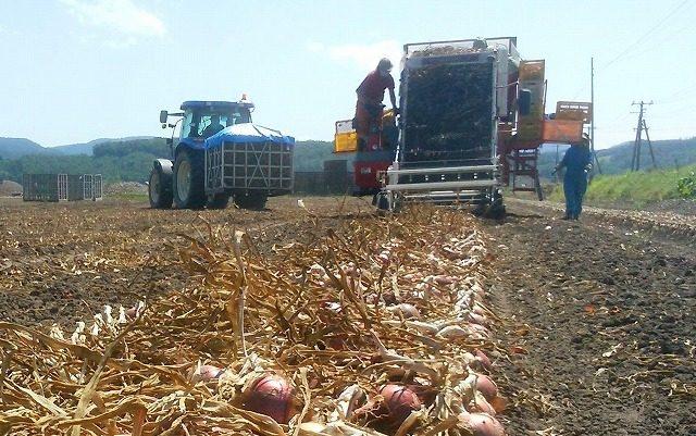 赤玉ねぎ収穫作業の様子