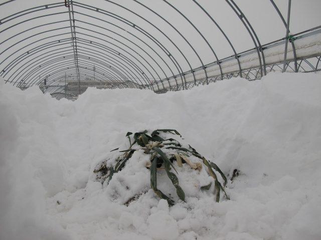 雪に埋もれている越冬ネギ