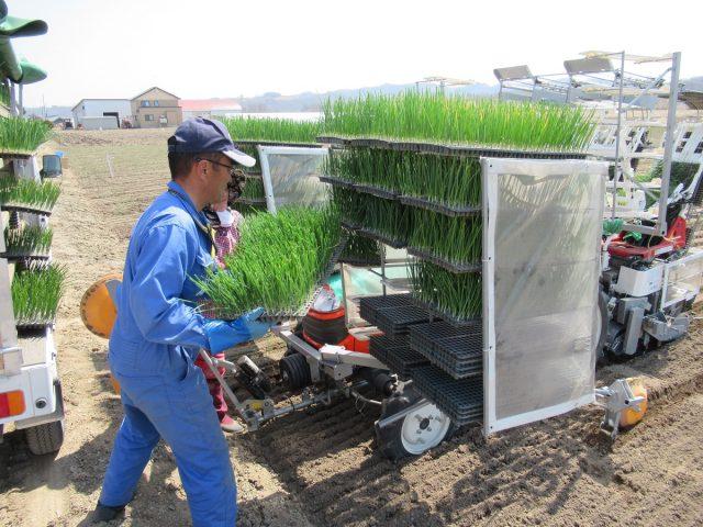 玉ねぎの植え付け作業2