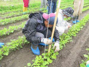 圃場の生育調査2