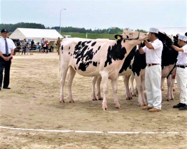 乳牛共進会の様子2
