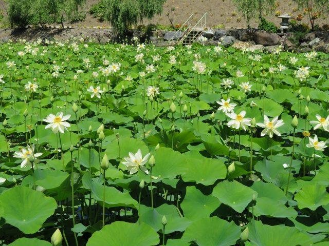 ハス池の様子1