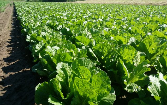 白菜畑の様子