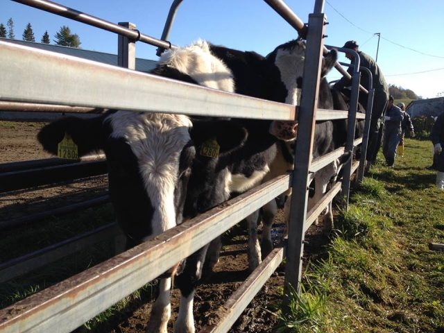 移動する牛の様子
