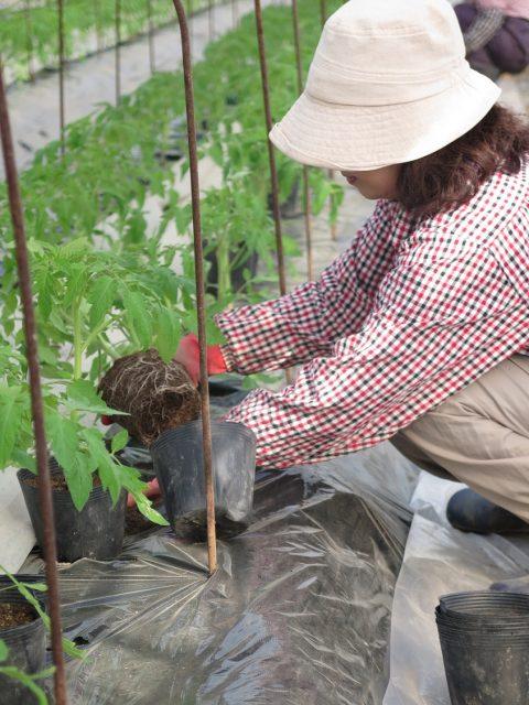 トマト栽培の様子1
