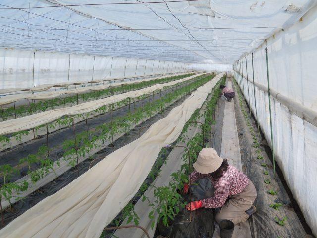 トマト栽培の様子2