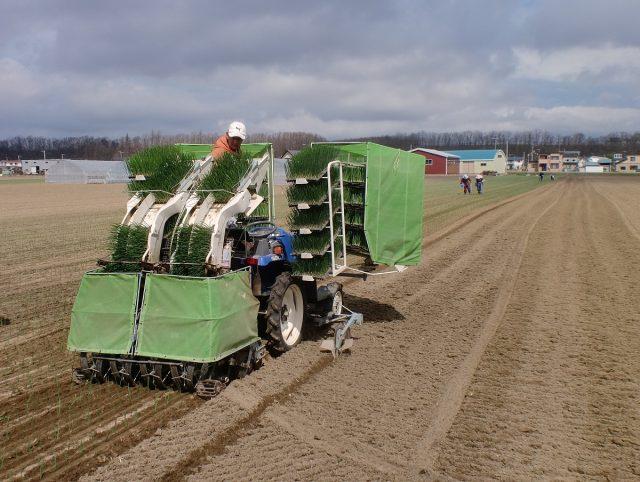 玉ねぎ植え付け作業1