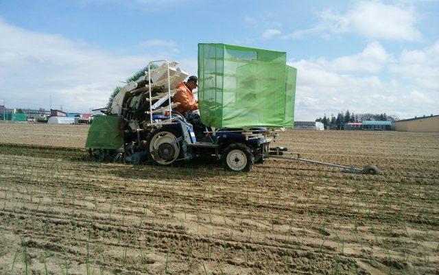 玉ねぎ植え付け作業2