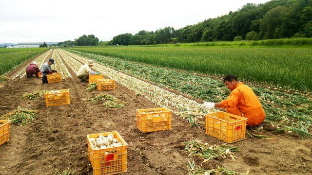 ピックアップ「真白」-08(収穫作業)