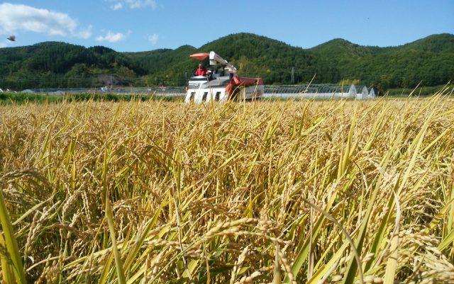 水稲収穫の様子2