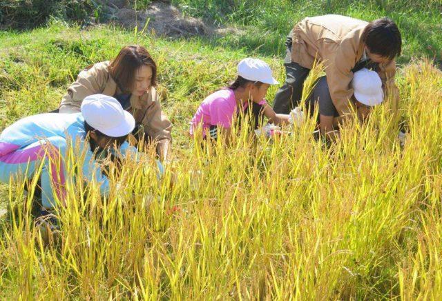 稲刈り体験の様子2