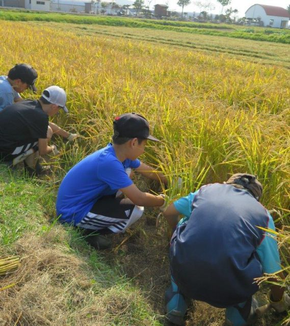 稲刈り体験の様子3