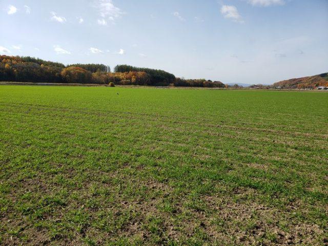 秋まき小麦の様子1