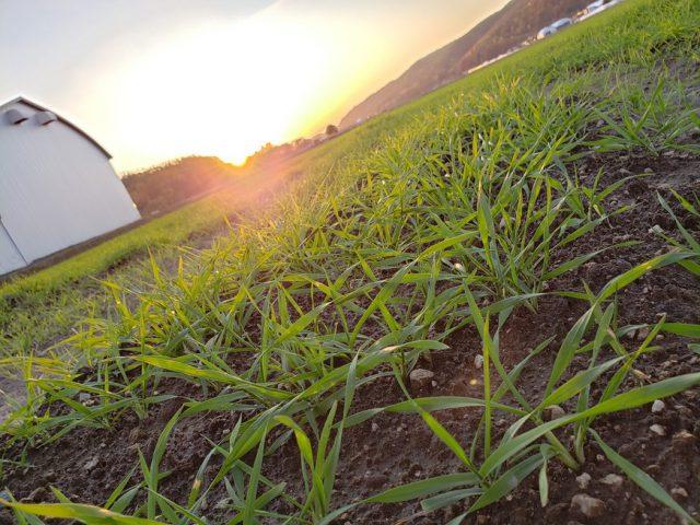 秋まき小麦の様子2