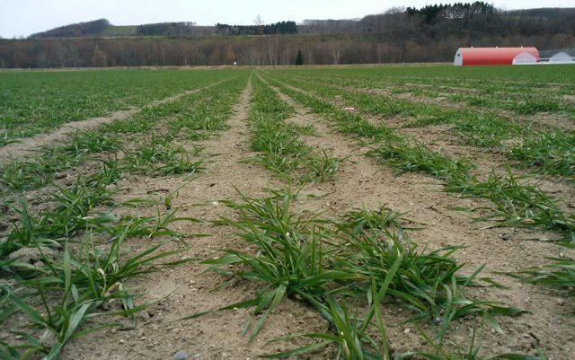 越冬前の秋まき小麦の様子