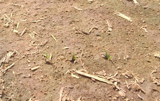 ほうれん草成長の様子1