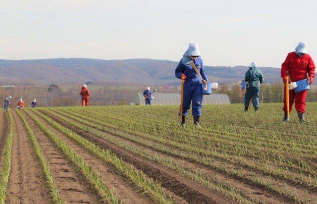 玉ねぎの補植作業の様子