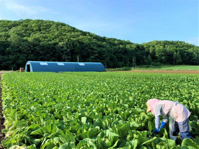 白菜の収穫の様子1