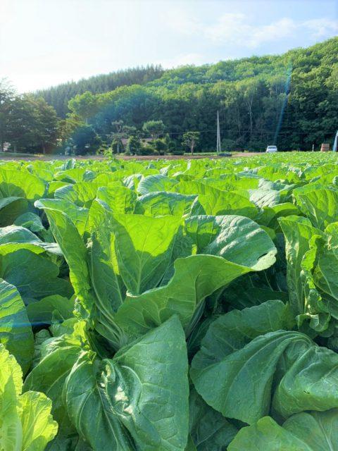 白菜の収穫の様子2
