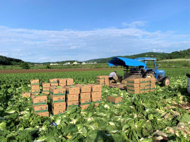 白菜の収穫の様子3