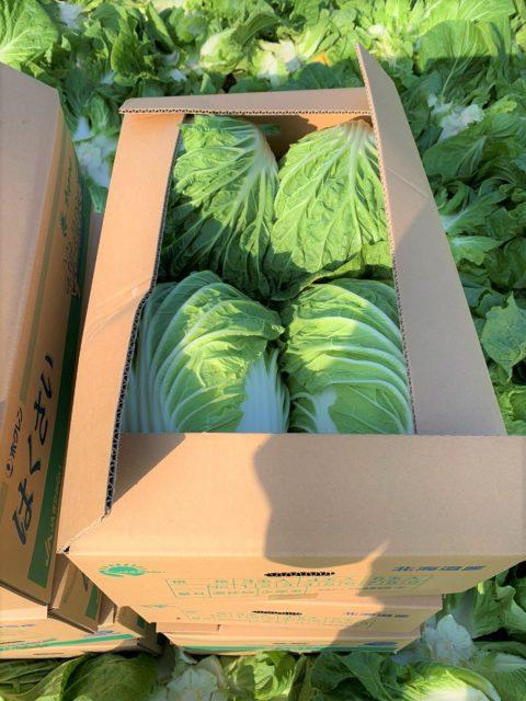 白菜の収穫の様子4